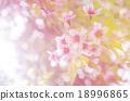 Japanese cherry blossom, Sakura blooming in summer 18996865