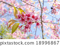 Japanese cherry blossom, Sakura blooming in summer 18996867
