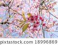 Japanese cherry blossom, Sakura blooming in summer 18996869