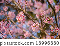 Japanese cherry blossom,Sakura blooming in summer 18996880