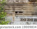 Tricolor cat or Calico cat in Old wooden Wall  19009834