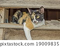 Tricolor cat or Calico cat in Old wooden Wall  19009835