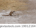 South African ground squirrel Xerus inauris 19012164