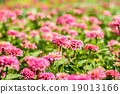 Pink daisy gerbera flowers with blurred background 19013166