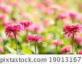 Pink daisy gerbera flowers with blurred background 19013167
