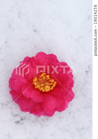 camellia 19014258