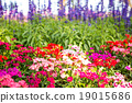 carnations with blurry lavenders background 19015686