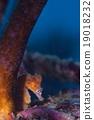 鹹水魚 海魚 海水魚 19018232