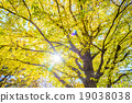 Yellow ginkgo tree in Tokyo 19038038
