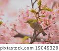 Mejiro and cherry blossoms 19049329