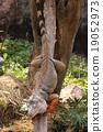 Iguana are climbing down 19052973