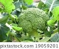 야채, 채소, 브로콜리 19059201