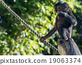 newborn baby bonobo chimpanzee ape portrait  19063374