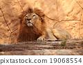 lion animal cat 19068554