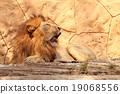 獅子 動物 貓 19068556