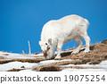 Wild reindeer, Spitsbergen, Svalbard, Norway 19075254