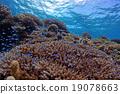 珊瑚 分叉珊瑚 热带鱼 19078663