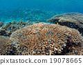 珊瑚 分叉珊瑚 热带鱼 19078665