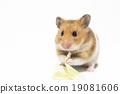 햄스터, 양배추, 작은 동물 19081606
