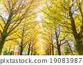autumn, leafe, yellow 19083987
