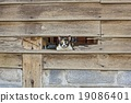 Calico cat in Old wooden Wall chasm 19086401