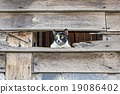 Calico cat in Old wooden Wall chasm 19086402