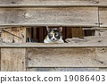 Calico cat in Old wooden Wall chasm 19086403