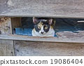 Calico cat in Old wooden Wall chasm 19086404