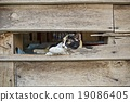 Calico cat in Old wooden Wall chasm 19086405