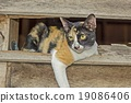 Calico cat in Old wooden Wall chasm 19086406