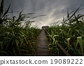 Wooden path trough the reed 19089222