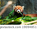 Cute red panda eating bamboo 19094851