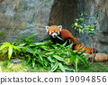 Cute red panda eating bamboo 19094856