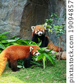 Two cute red pandas eating bamboo 19094857