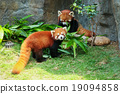Two cute red pandas eating bamboo 19094858