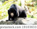Malayan Sun Bear 19103633