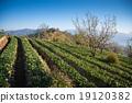 花园 草莓 泰国 19120382