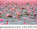 Sea of pink lotus, Nonghan, Udonthani, Thailand 19120576