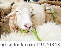 grazing sheep 19120843