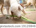 grazing sheep 19120846