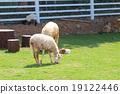 grazing sheep 19122446