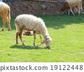 grazing sheep 19122448