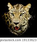 Leopard portrait 19133623