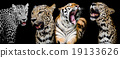 Collection of portraits of Tigers and Leopard. 19133626