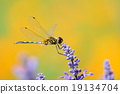 Single dragonfly holding lavenders in garden 19134704