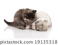 cat dog husky 19135318