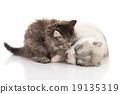 cat dog husky 19135319