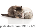 Cute tabby kitten kissing cute puppy  background 19135321