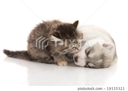 Cute tabby kitten kissing cute puppy  background 19135321
