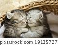动物 猫 猫咪 19135727